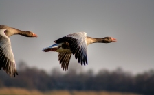 grauwe ganzen naardermeer