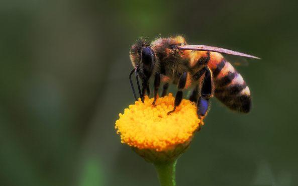 honingbij (Apis mellifera)