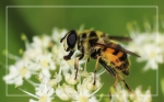 Doodskopzweefvlieg (Myathropa florea)