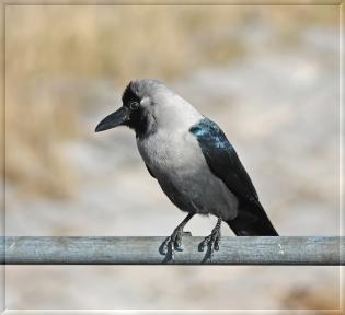 corvus splendens 3