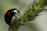 tweestippelig lieveheersbeestje (Adalia bipunctata)