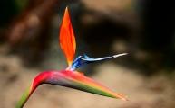 6 paradijsvogelbloem