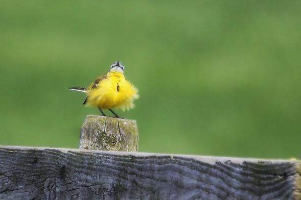 Gele kwikstaart (Motacilla flava)