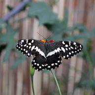 lemoenvlinder (Papilio demodocus)