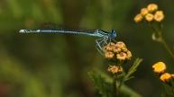 blauwe breedscheenjuffer (Platycnemis pennipes) op boerenwormkruid