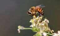 denk honingbij (Apis mellifera)