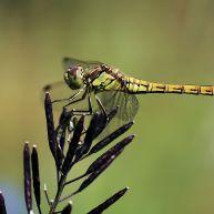 steenrode heidelibel (Sympetrum vulgatum), female