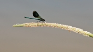 weidebeekjuffer (Calopteryx splendens), male