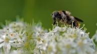 wollig gitje (Cheilosia illustrata)