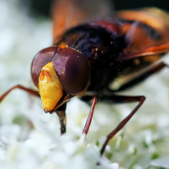 1 stadsreus of hoornaarzweefvlieg (Volucella zonaria)
