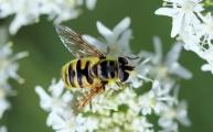 21 doodskopzweefvlieg (Myathropa florea)