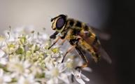 23 doodskopzweefvlieg