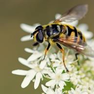 24 doodskopzweefvlieg