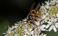 25 gewone wesp (Vespula vulgaris)