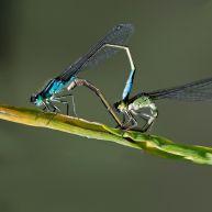 lantaarntjes (Ischnura elegans)