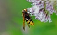 1 stadsreus (Volucella zonaria)