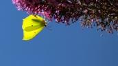 11 citroenvlinder (Gonepteryx rhamni)