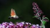 14 kolibrievlinder (Macroglossum stellatarum)