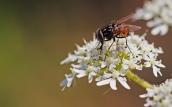 17 Graphomya maculata