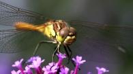 8 steenrode heidelibel