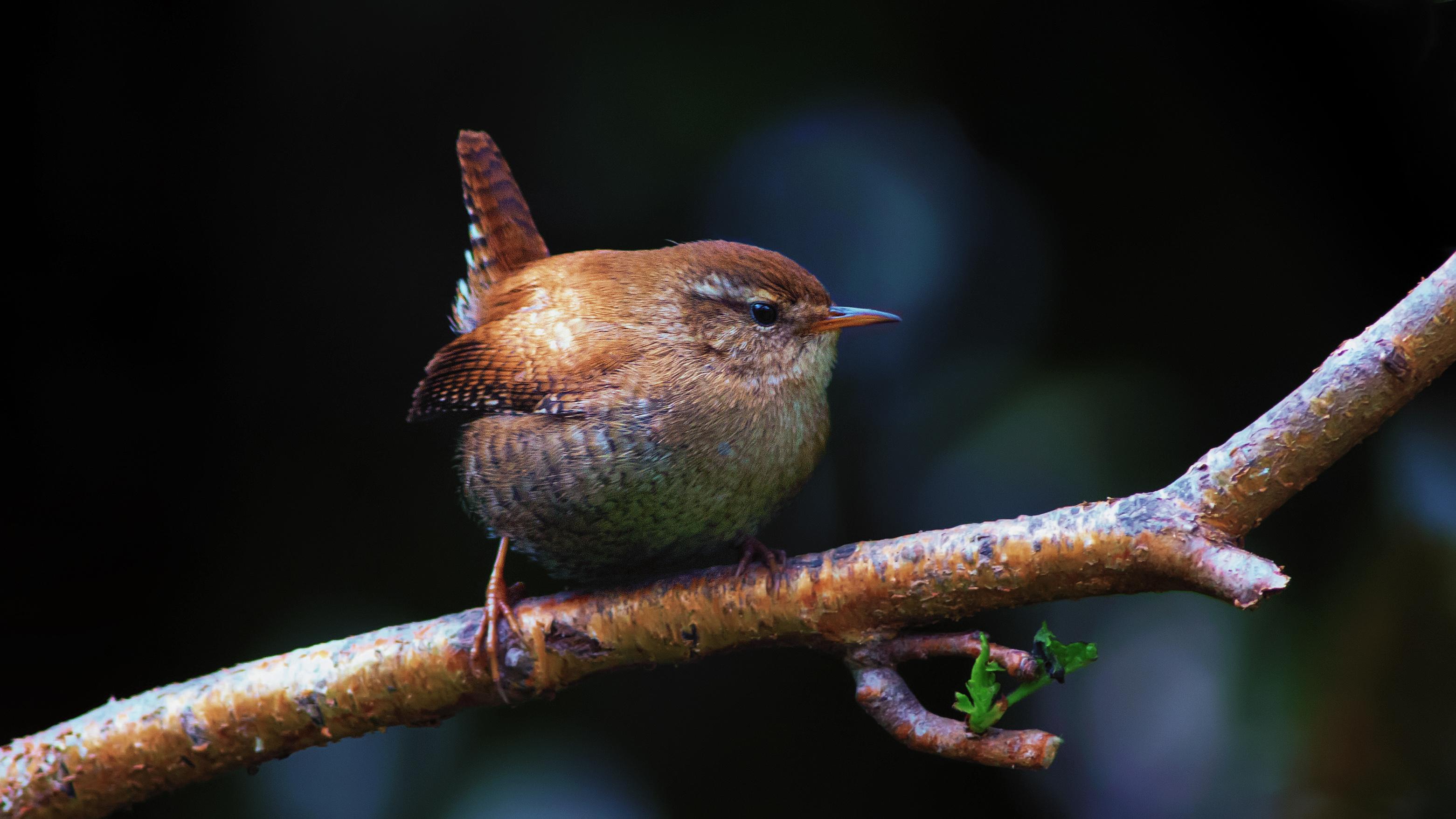 winterkoning vroege vogels