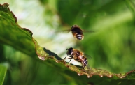 puntbijvlieg (Eristalis nemorum)