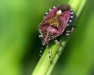 bessenwants (Dolycoris baccarum)