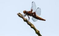 4 platbuik, vrouwtje (Libellula depressa)