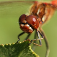 2-steenrode-heidelibel