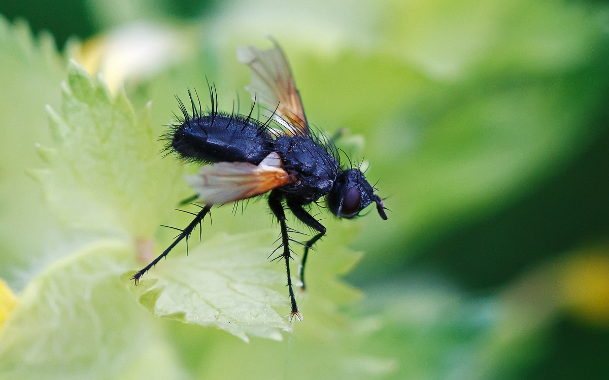 Het rood aan de vleugelbasis doet mij weliswaar denken aan een schorsvlieg ((Mesembrina meridiana), maar helemaal zeker ben ik er niet van.