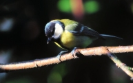 4 koolmees (Parus major)