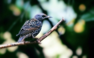 7 spreeuw (Sturnus vulgaris)