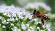 3 honingbij (Apis mellifera)