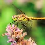 8 steenrode heidelibel (Sympetrum vulgatum)