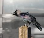 Hoek van Holland telde een aantal jaren een uiterst kleine populatie Corvus splendens. Deze huiskraai is thuis in delen van Zuid-Azië en het paartje dat in 1994 Hoek van Holland bereikte, zal zijn meegelift aan boord van een schip. In 2013 bestond de hele populatie uit nog altijd slechts enkele tientallen exemplaren die zich niet naar elders verspreidden en geen enkele bedreiging vormden voor inheemse soorten. Toch besloot de overheid in haar ondoorgrondelijke wijsheid dat de huiskraai diende te worden uitgeroeid, en aldus geschiedde. Uit 2017 zijn geen waarnemingen meer bekend die erop duiden dat de vogel nog langer in Nederland broedt.
