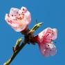Perzik (Prunus persica)