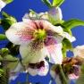 Helleboris orientalis, subsp. guttatus