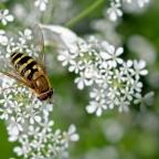 4 Bandzweefvlieg (Syrphus), mogelijk bessenbandzweefvlieg (Syrphus ribesii)