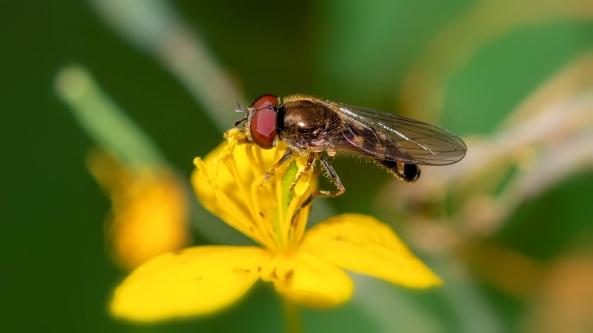 Beide zweefvliegen gefotografeerd in mijn tuin