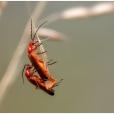 Kleine rode weekschildkevertjes/soldaatjes (Rhagonycha fulva)