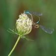 Lantaarntjes (Ischnura elegans) lekker bezig