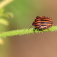 Pyjamaschildwants (Graphosoma italicum)