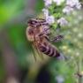 1 Honingbij (Apis melifera)