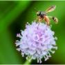 13 Gewoon knuppeltje (Physocephala rufipes)