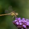 5 Steenrode heidelibel (Sympetrum vulgatum)