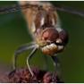 6 Steenrode heidelibel
