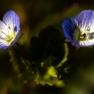 12 Grote ereprijs (Veronica persica)