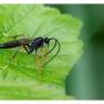 een sluipwesp (fam. Ichneumonidae)