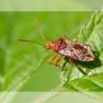 geblokte glasvleugelwants (Rhopalus subrufus)
