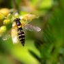 grote langlijf vrouwtje (Sphaerophoria scripta)